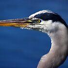 Great Blue Heron - Left Profile by Stephen Beattie