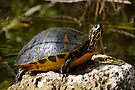 Happy Florida Redbelly Turtle by Stephen Beattie