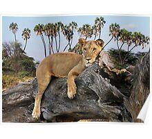 TREE CLIMBING LION - KENYA Poster
