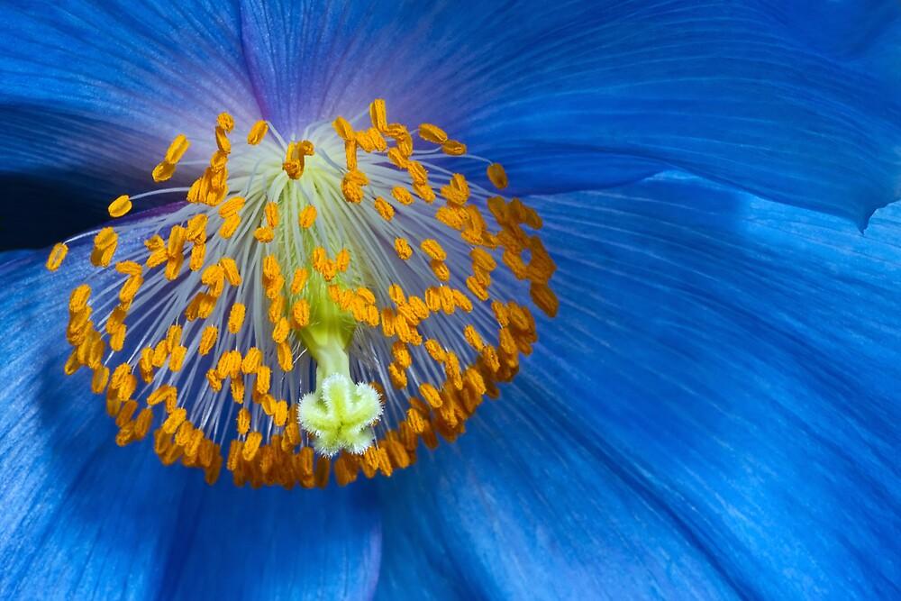 Poppy by Margaret Barry