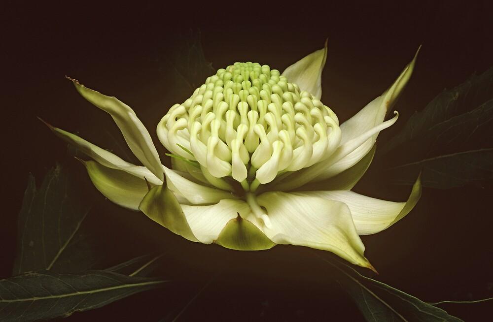 White waratah (Telopea speciosissima cv) by auscape