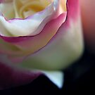 double delight rose by Adriana Glackin