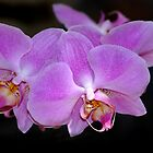 Orchid by Lynda   McDonald