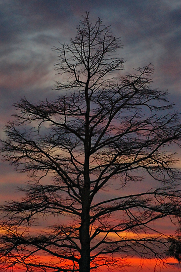Sunset Cypress by Angel Perry
