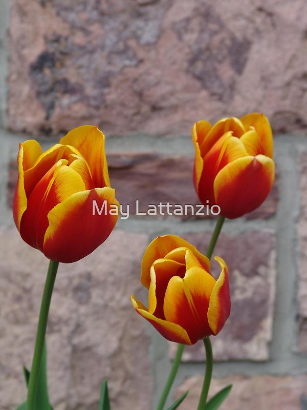 Tulip Trio by May Lattanzio