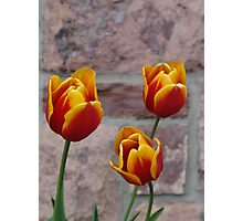 Tulip Trio Photographic Print