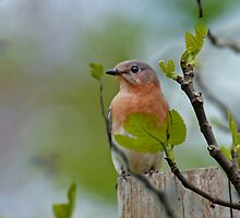 Dreaming of Bluebirds by Bonnie T.  Barry