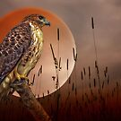 Red Tail Hawk At Rest by TOM YORK