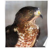 Hawk Eye Poster