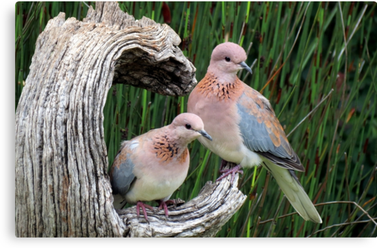Rooiborsduifies / Laughing doves by Elizabeth Kendall