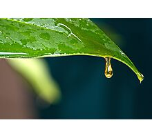 Lily leaf Photographic Print