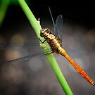 Dragon Fly by Chris  Randall