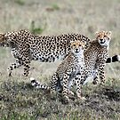 CHEETAH FAMILY - MAASAI MARA by Michael Sheridan