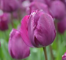 Purple Tulip with Water Drops by Lena127