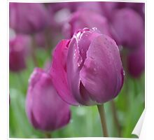 Purple Tulip with Water Drops Poster