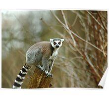 Ring Tailed Lemur Monkey Poster