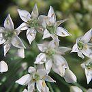 Allium tuberosum (Garlic Chives) by Julie Sherlock