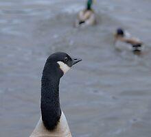 Canada Goose by Franco De Luca Calce