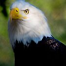 American Bald Eagle by Wade Simmonds