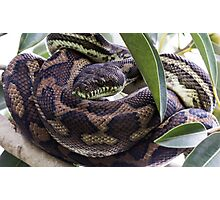 Carpet Python Snake Photographic Print