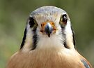American Kestrel ~ Say Cheese? by Kimberly Chadwick