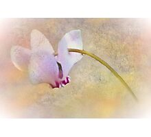 Delicate Cyclamen Photographic Print