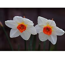 White Daffodils  Photographic Print