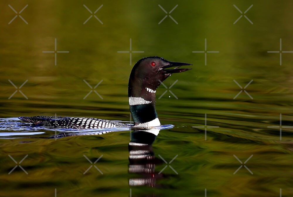 Call of a Loon - Common Loon by Jim Cumming