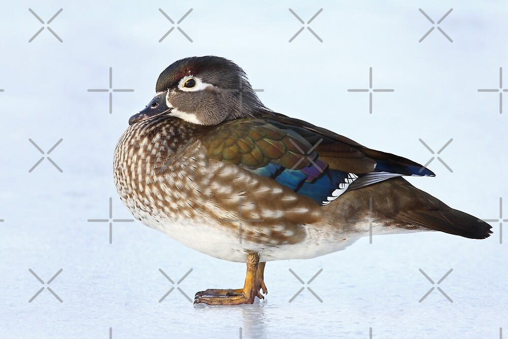 My favourite duck - Wood Duck by Jim Cumming