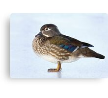 My favourite duck - Wood Duck Canvas Print