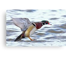 Flight of the Wood Duck Canvas Print