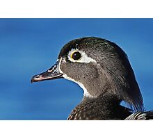 The beauty of the female wood duck Photographic Print