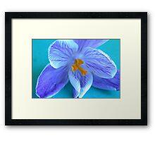 Blue Crocus Framed Print