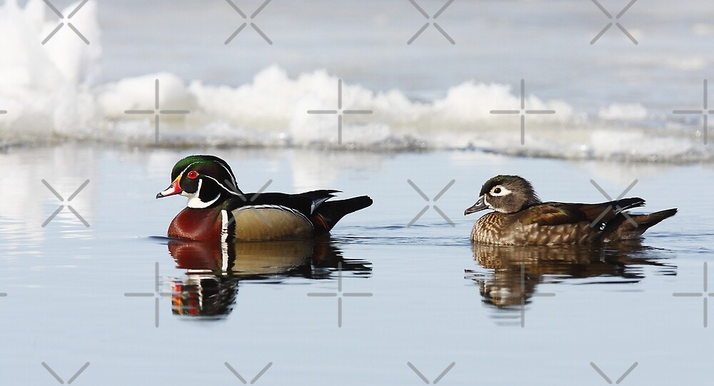 Wood Ducks on river by Jim Cumming