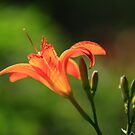 Tiger Lily by Brian Dodd