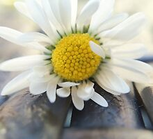 Delicate daisy by mamate