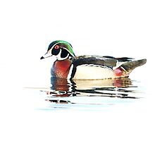 Watercolour Wood Duck Photographic Print