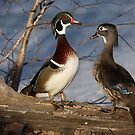 Woods on Wood - Wood Ducks by Jim Cumming