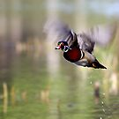 Wood duck takes flight - Wood Duck by Jim Cumming