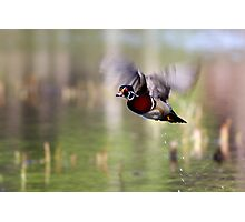 Wood duck takes flight - Wood Duck Photographic Print
