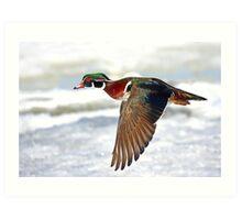 Colourful flight - Wood Duck Art Print
