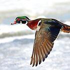 Colourful flight - Wood Duck by Jim Cumming