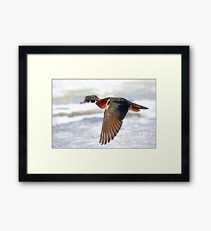 Colourful flight - Wood Duck Framed Print
