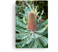 Banksia Serrata Canvas Print