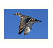 Flight of Fancy - Wood Duck Art Print