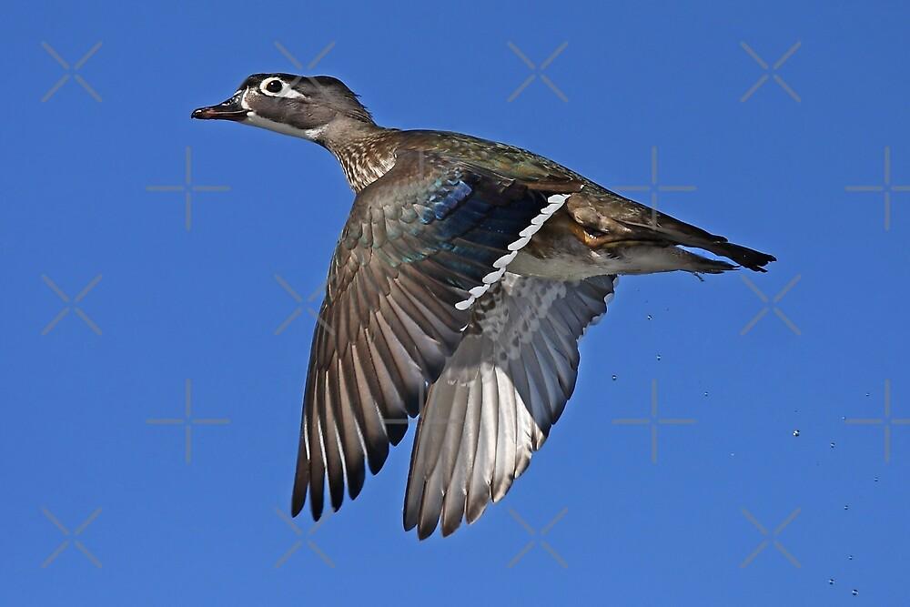 Flight of Fancy - Wood Duck by Jim Cumming