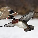 Flying the friendly skies - Wood Duck by Jim Cumming