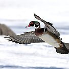 By the frozen shoreline - Wood Duck by Jim Cumming