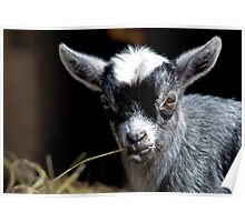 Kid Goat with Straw In Mouth Poster