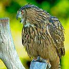Talking Owl by imagetj